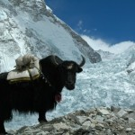 Yak on Mount Everest