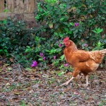 Bird's the Word:  Chickens in Mount Pleasant