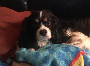 Bob Marley the King Charles Spaniel, Trese Freitag - Mt Pleasant Pets