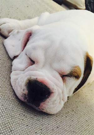 Chubbs the Beaubull, Karen Dilard - East Cooper Pets