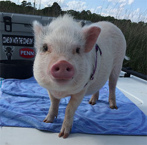 Daisy May the Potbellied Pig, Jaimie Hough - East Cooper's Pets