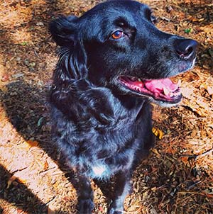 DeeBo the Flat Coat Retriever mix, Jessica Hecker - East Cooper Pets
