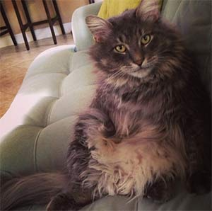 Gizmo the Maine Coon Cat, Ashley - East Cooper's Pets