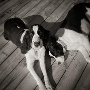 Layla and Bbasil the Springer Spaniels, Brian Carroll - Mount Pleasant Pets