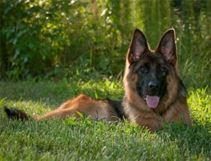 Malaika the German Shepherd, Angi Duckwall - East Cooper Pets