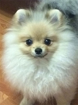 Missy Hope the Pomeranian, Linda Hanf