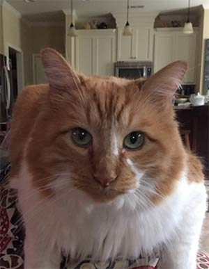 Monte the Maine Coon Cat, Marilyn Pease - Mount Pleasant's Pets