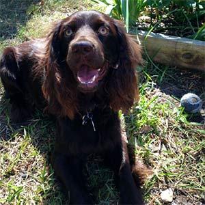 Rueger the boykin spaniel, Khris England - East Cooper's Pets