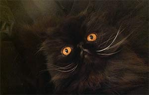 Sammy the Persian cat, Sonja Teichner - East Cooper Pets