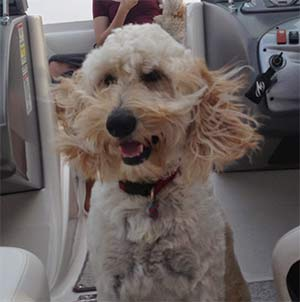 Seamus the Golden Doodle, Suzie Webster - Mount Pleasant Pets