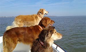 Sullivan, Walker and Fievel, 2 Goldens and an Australian Shepherd Golden mix, Wendy Weisner - East Cooper Pets