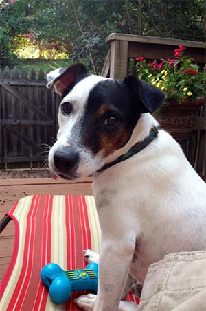 Tucker the Jack Russell, Tami McCune - East Cooper Pets