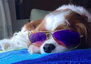Willie the King Charles Cavalier, Libby Ratliff - Mt Pleasant Pets