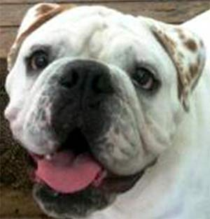 Wilson the English Bulldog, Teresa Eichman - East Cooper Pets