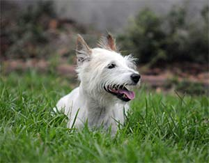Winston the Wire Haired Jack Russell Terrier, Brian Carroll - East Cooper Pets