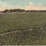 A Leaf Through Mount Pleasant History:  Cassina Tea