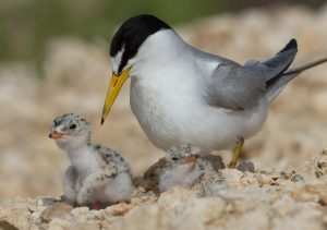 Least Tern Discussion and Walk @ Wild Birds Unlimited - Mt. Pleasant |  |  |