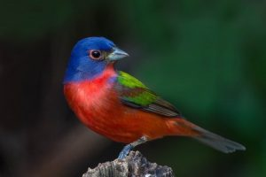 Painted Bunting Walk @ Wild Birds Unlimited - Mt. Pleasant | Mount Pleasant | South Carolina | United States