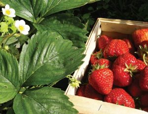 Mouthwatering strawberries from Boone Hall Farms' U-Pick Fields in Mount Pleasant, SC