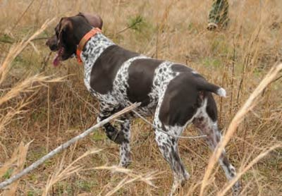 The hunting dog points toward the hunter's prey.