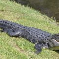 An alligator