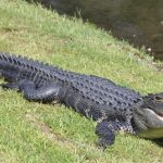 A 'Pleasant' Place for Gators: Adapting to Our Neighbors