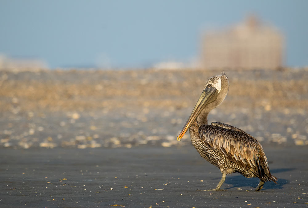 2018: A brown pelican standing on what is left of Crab Bank.